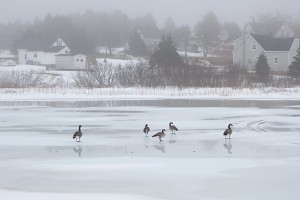 Photo of the Week: Canada geese