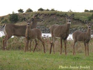 Cape Breton Living Photo of the Week: Deer grazing in Chapel Cove