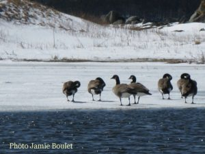 Cape Breton Living Photo of the Week: Geese in Chapel Cove