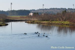 Cape Breton Living Photo of the Week: Ducks in the pond - L'Ardoise