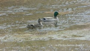 Cape Breton Living Photo of the Week: Mallard ducks L'Ardoise