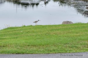 Cape Breton Living Photo of the Week: L'Ardoise Lesser Yellowlegs