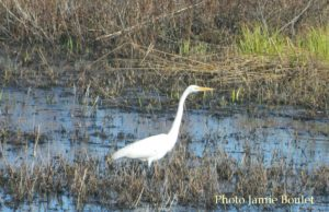 Cape Breton Living Photo of the Week: Great Egret