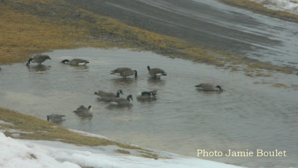 Cape Breton Living - Geese in a puddle