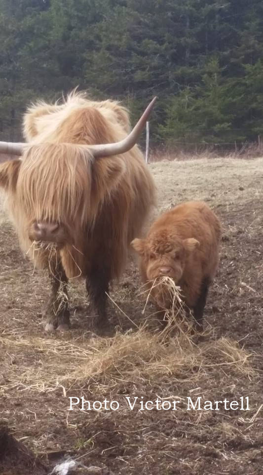 Cape Breton Living Photo of the Week: Highland Cattle - L'Ardoise