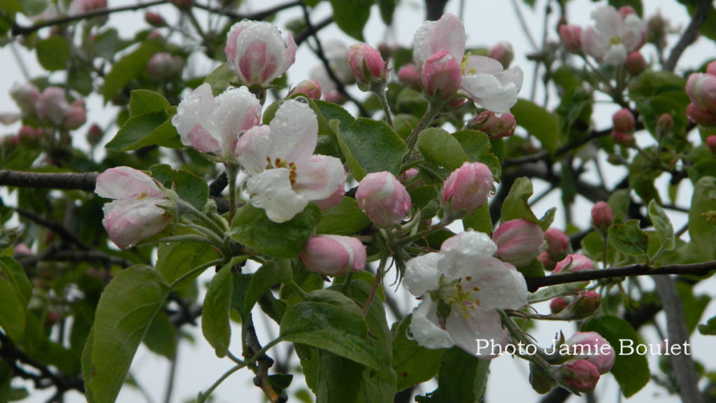 Cape Breton Living: Apple Blossoms in Chapel Cove