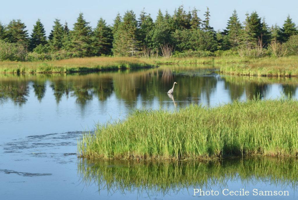 Cape Breton Living Photo of the Week: Blue Heron