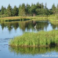 Cape Breton Living Photo of the Week: Blue Heron