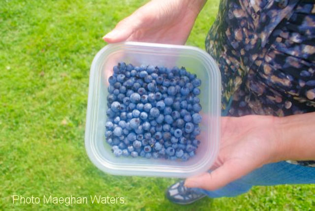 Cape Breton Living Photo Memories: Blueberries 2011 Advice from a blueberry Be well-rounded Soak up the sun Live a fruitful life It's OK to be a little blue Make sweet memories!